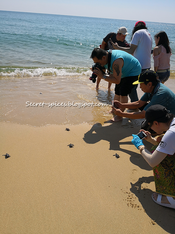 Releasing turtles, Turtle Conservation at Resorts World Kijal