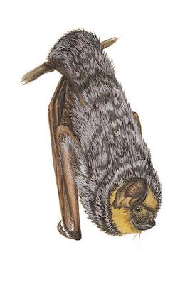 Murciélago escarchado grande Lasiurus cinereus