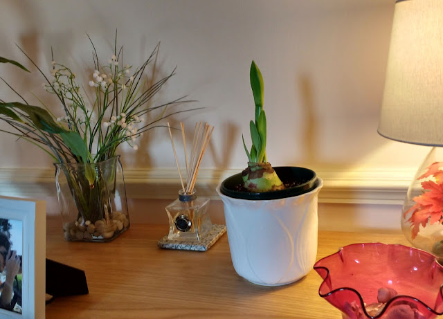 growing an amaryllis