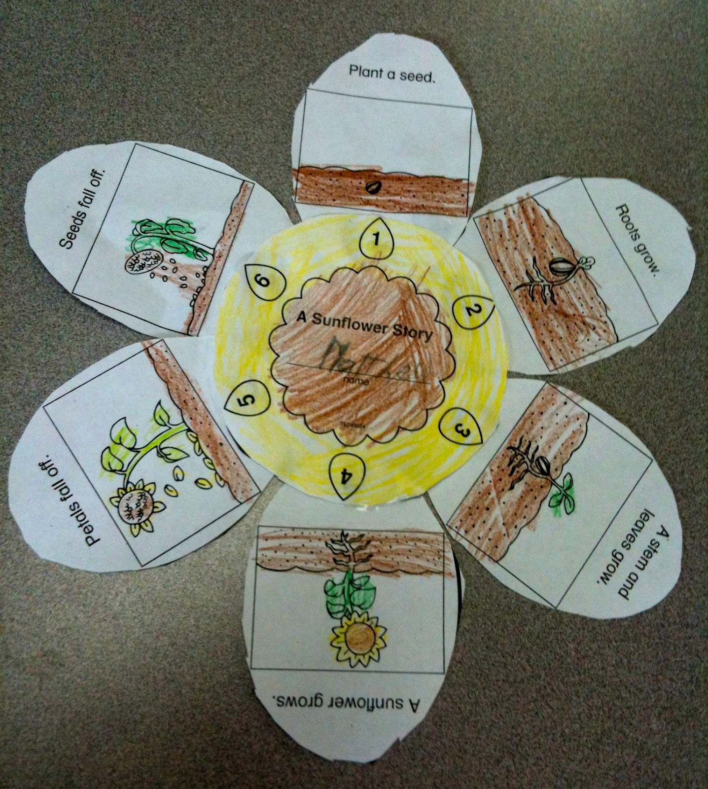 sunflower plant life cycle diagram of whitetail deer skull kindergarten superkids april 2012