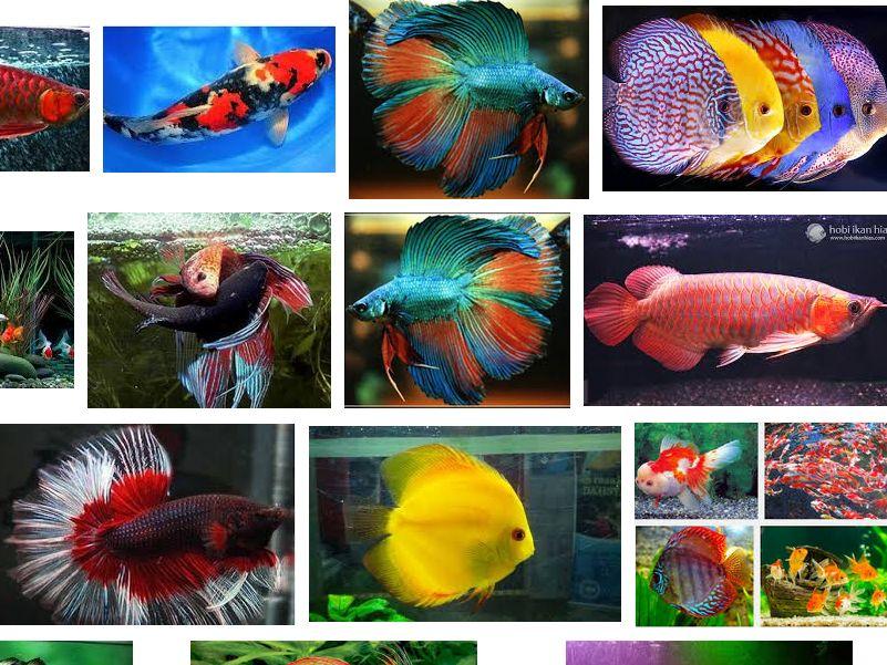 Jenis-Jenis Ikan Hias dan Harganya