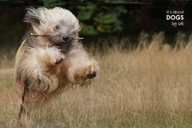 Tibet Terrier Chiru hat immer viel Spaß wenn er mit Lotta unterwegs ist.