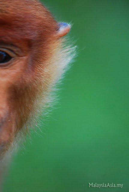 Profile photo of Proboscis Monkey