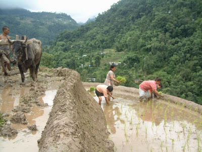 Planting organic rice in sikkim