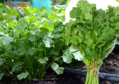 coriander, coriander leaves