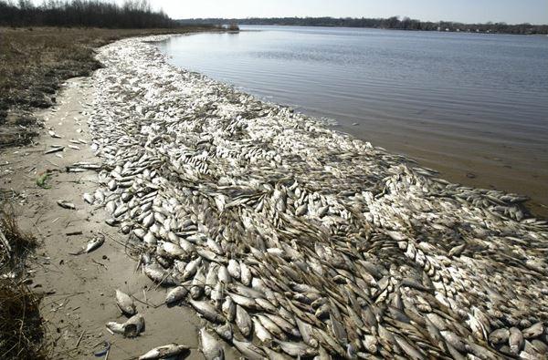 Ribuan Ikan laut Mati