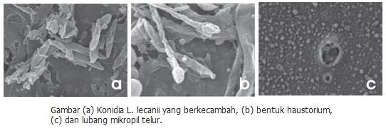 Mengendalikan Hama Pengisap Polong Dengan Jamur Entomopatogen