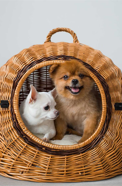 A Chihuahua and a Pomeranian in a wicker basket