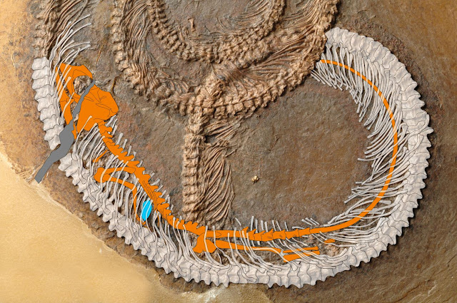 Snake eats lizard eats beetle: Fossil food chain from the Messel Pit examined