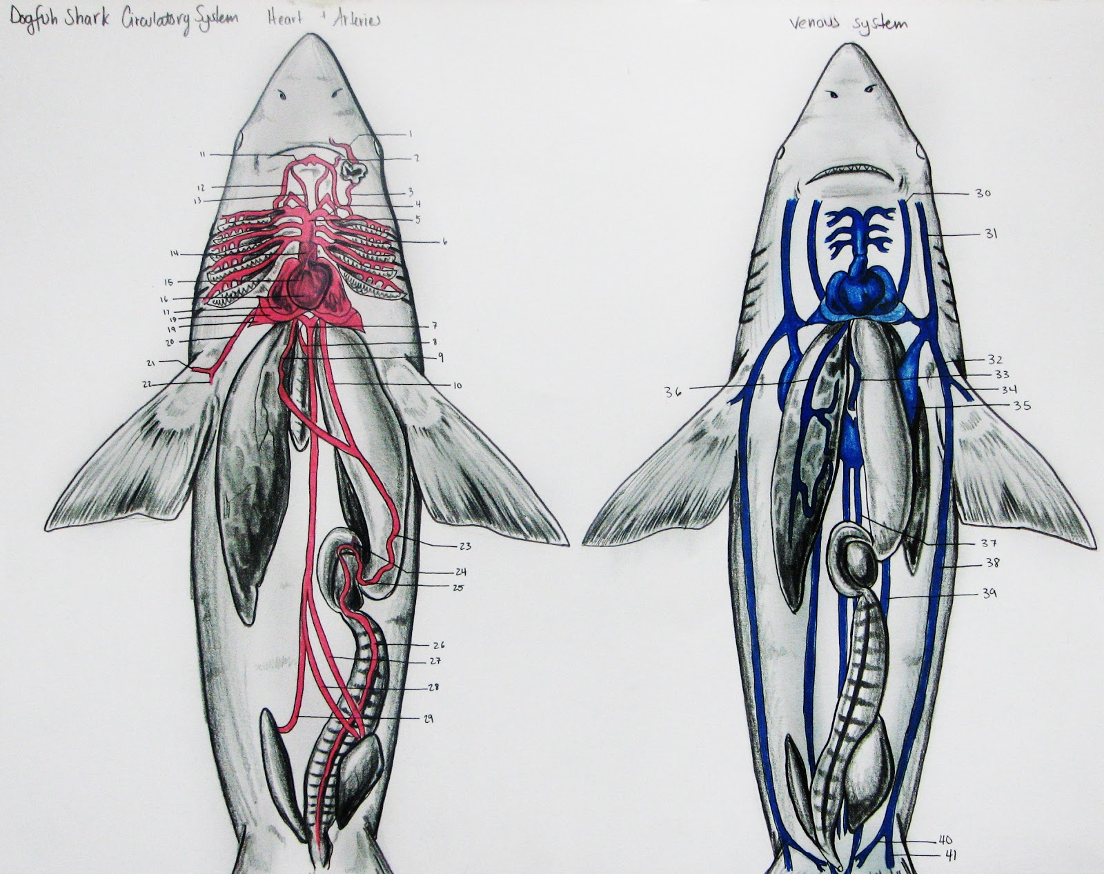 Shark Dissection Guide Diagram Hsh Wiring 5 Way Switch Tiburones En Galicia El Sistema Circulatorio De Los
