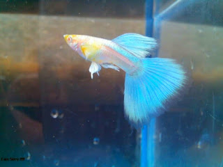Foto Ikan Guppy Albino Blue Moscow