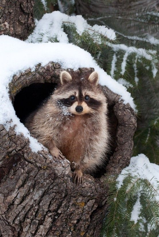 Beautiful winter scene with racoon in snow