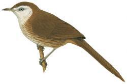 Acanthoptila nipalensis