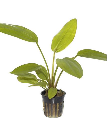 cây lan nước rất dễ trồng thích hợp cho người mới bắt đầu chơi thủy sinh