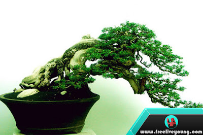 How to take Care Bonsai