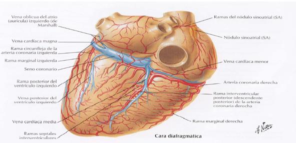Circulación coronaria | Se dice Médico