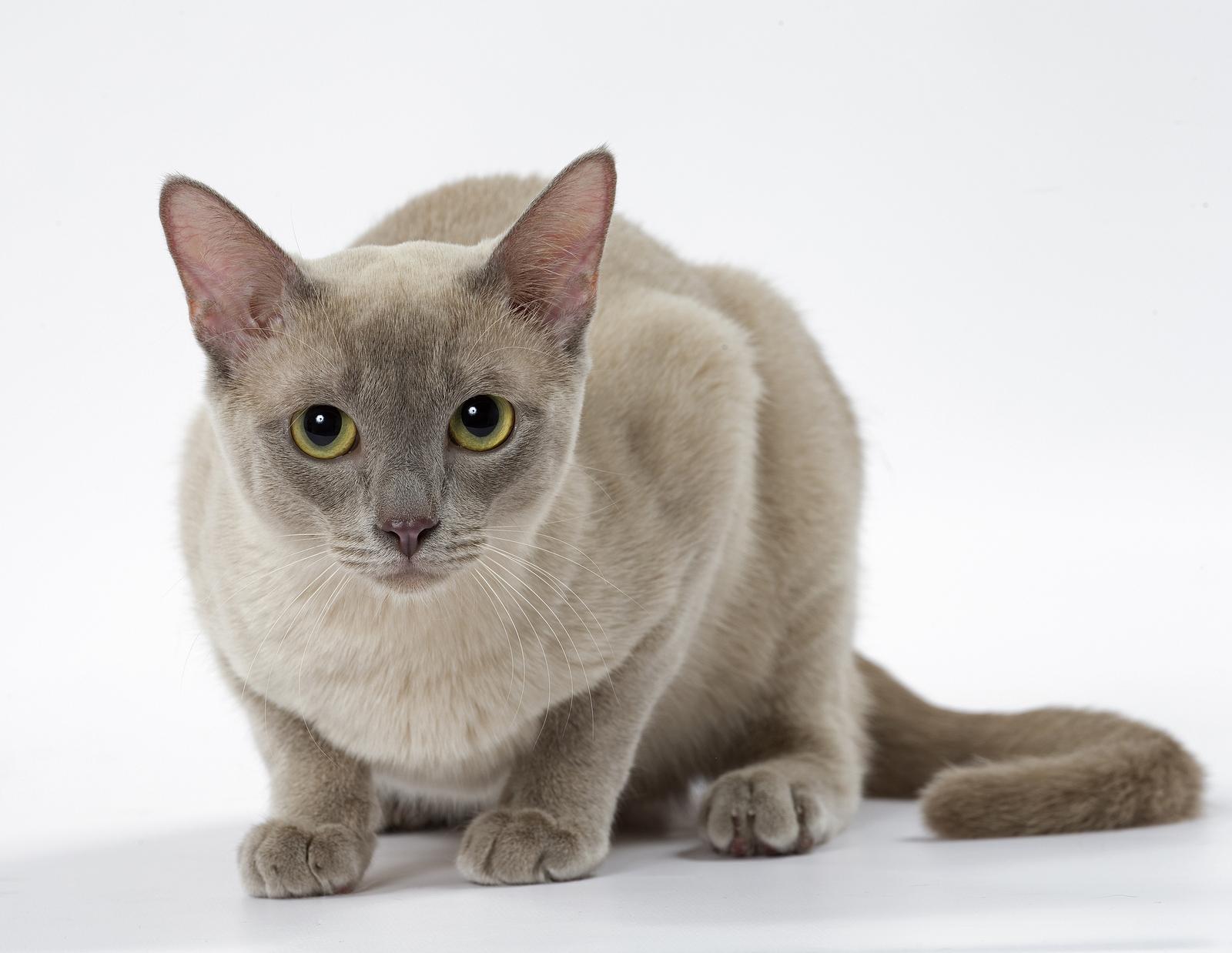 50 Jenis Kucing Di Dunia Beserta Sejarah Lengkap