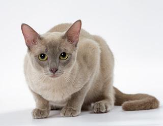Gambar Kucing Tonkinese