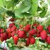 Tips Memanfaatkan Daun Stroberi Untuk Kesehatan Tubuh