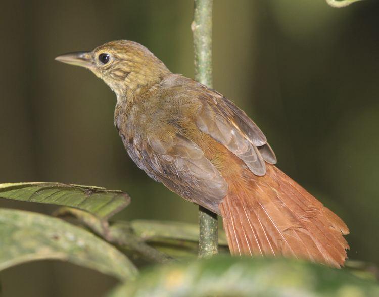 Pássaro Barranqueiro-Pardo (Automolus infuscatus)