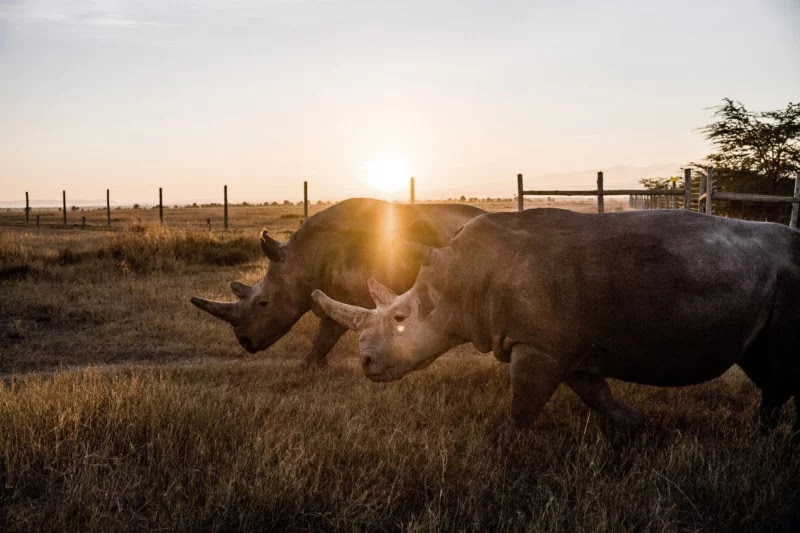 Stunning Photos Of The Last Two Northern White Rhinos Alive