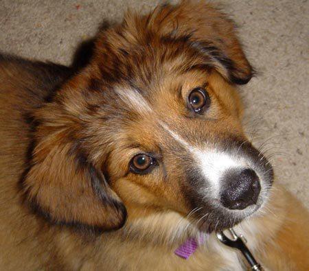 Australian Shepherd And Beagle Mix | Dog Beagles