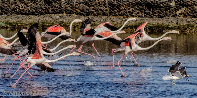 Greater Flamingos Milnerton Lagoon / Woodbridge Island