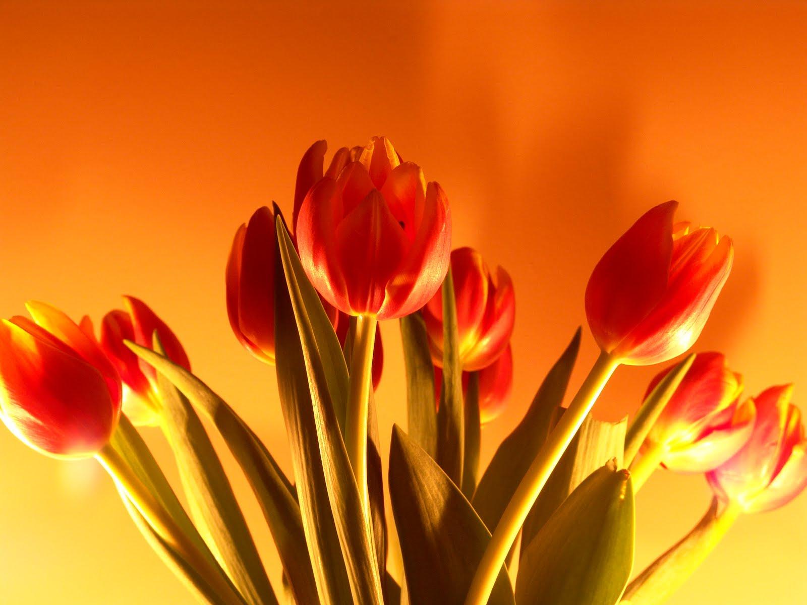 Tulip Flowers For Desktop Backgrounds