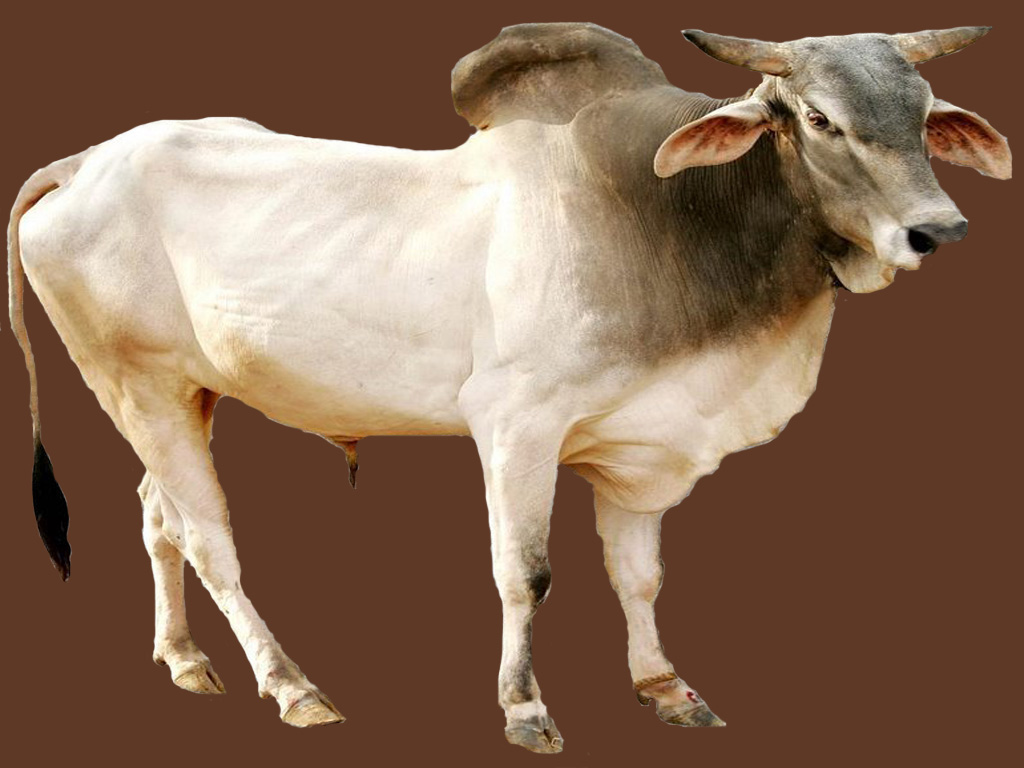H F Cattle India Haryana Cow | M...