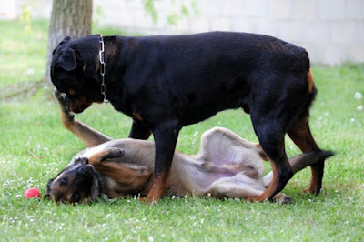train a dominant dog