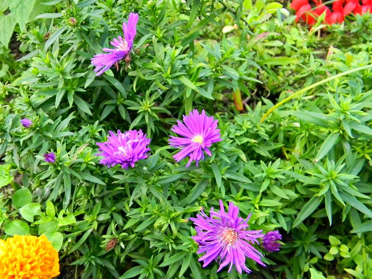 fioletowy, przyroda, zieleń, ogród