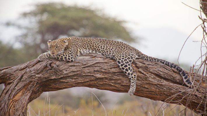 Wallpaper: Leopard in the wild Africa