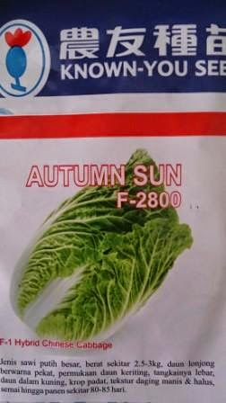 crop keras,tahan simpan,tahan pecah, tahan busuk hitam, cepat panen,autumn sun,Sawi Putih, Known You Seed, Taiwan