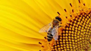 μέλισσα Hylaeus nubilosus