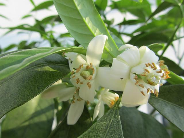Citrus sinensis flowers