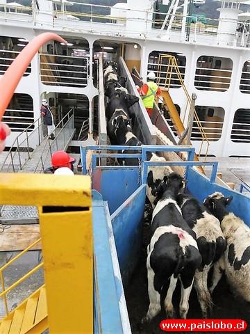 vaquillas viajan rumbo a China