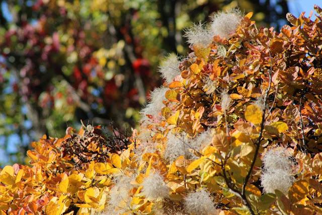 cotinus coggygria, scumpia, plante pentru gradina, idei amenjare gradina toamna, frunze toamna, peisagistica