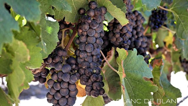 Viiniköynnös - www.blancdeblancs.fi