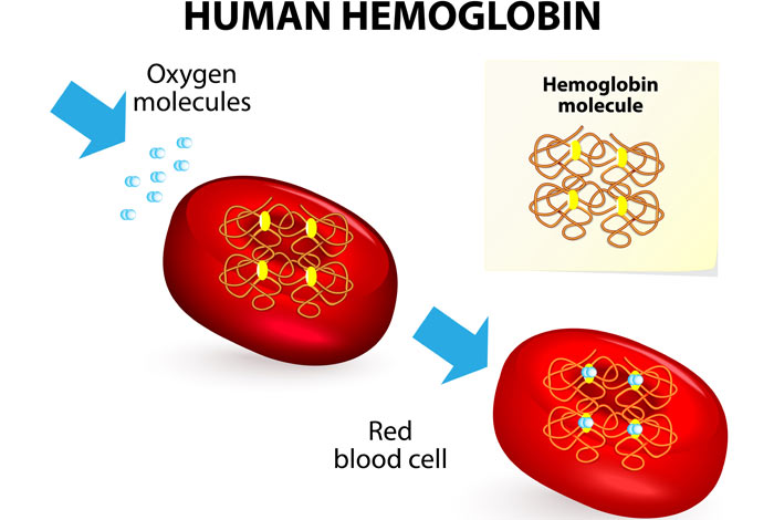 erythrocyte and hemoglobin relationship goals