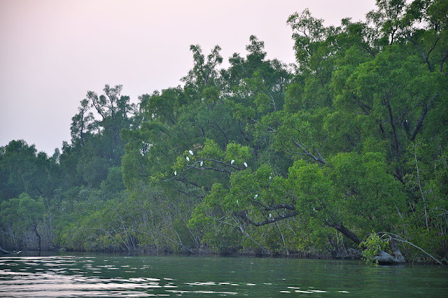 The mangroves of Sundarbans National Park - UNESCO World  Heritage site in India