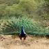 صحرائے تھر کا خوب صورت پرندہ ' مور' : موت کے ہاتھوں بے بس