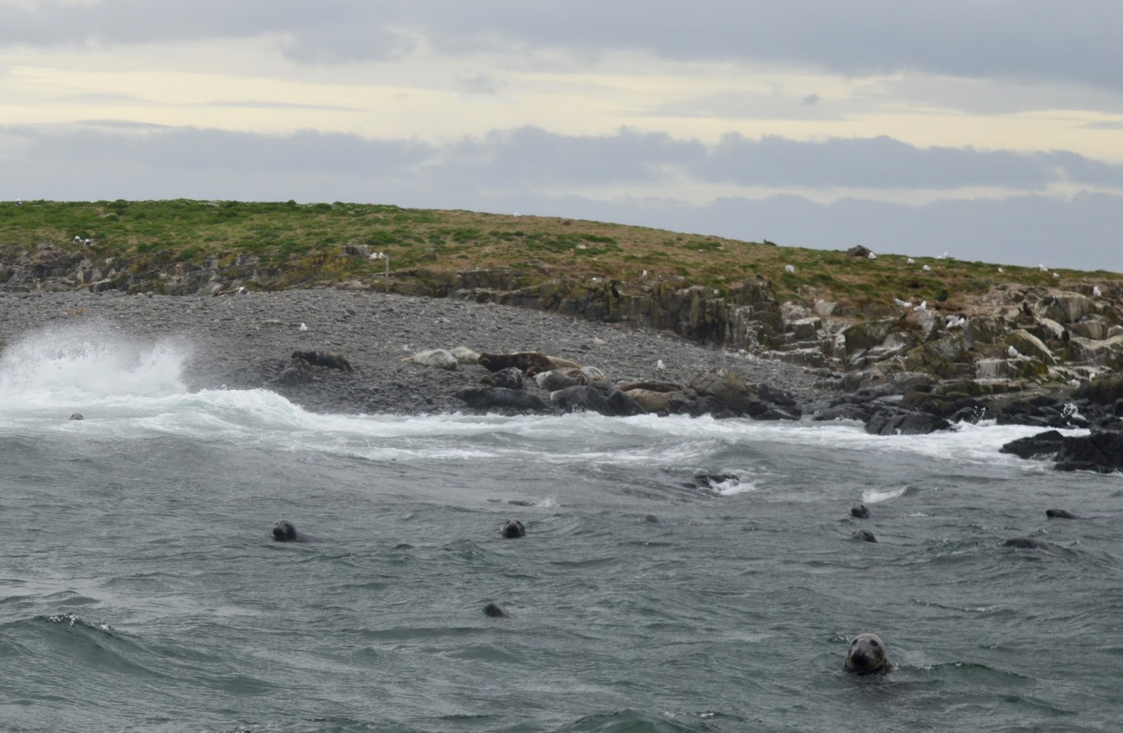 Farne Island Boat Trips with Serenity | A review and what to expect with kids - Seals in North Sea