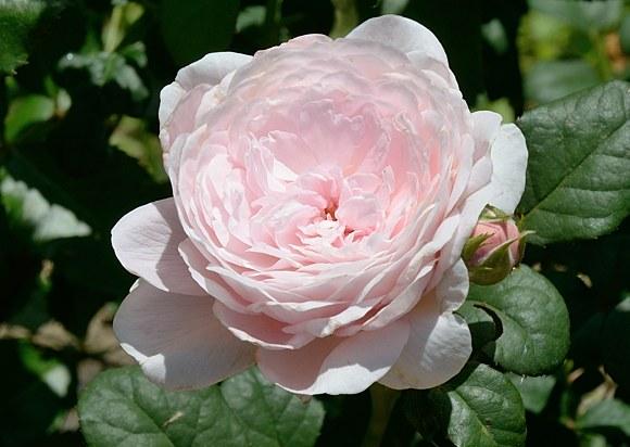 Queen of Sweden сорт розы фото Минск купить