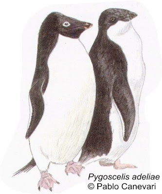Pingüino ojo blanco Pygoscelis adeliae