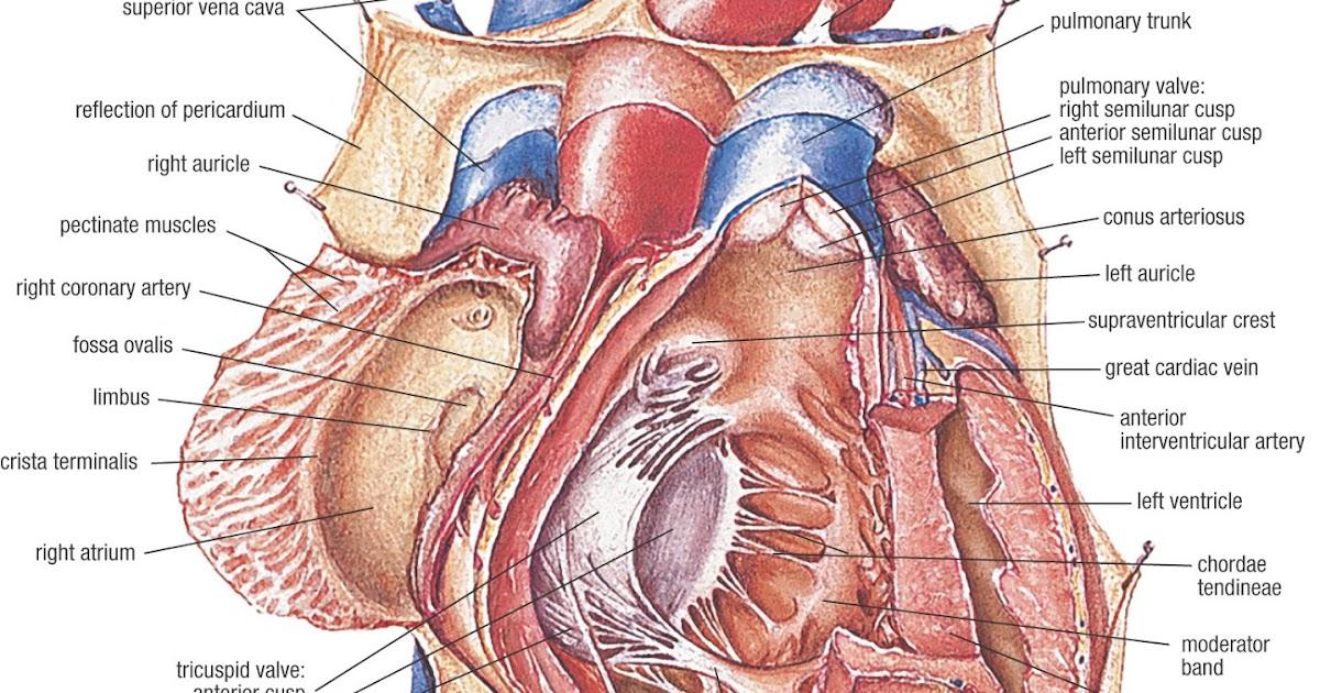 Medical And Health Science Human Heart Anatomy