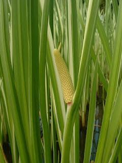 Foto atau gambar Jeringau (Acorus calamus L. Acoraceae)