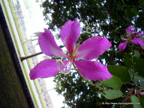 Bauhinia X Blakeana The Hong Kong Orchid Tree