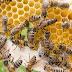 Criança de 3 anos morre após ser picada por abelha