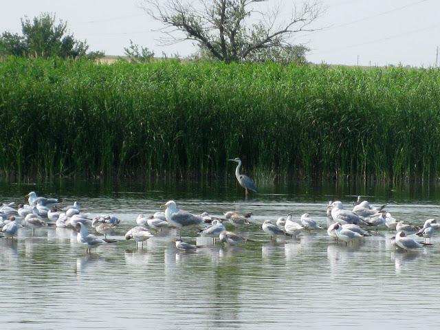 Фото Виталия Бабенко: чайки, лебеди, цапли