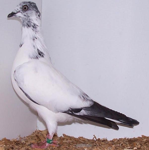 Vienna Highflyer Pigeon Breed Information | Modern Farming Methods